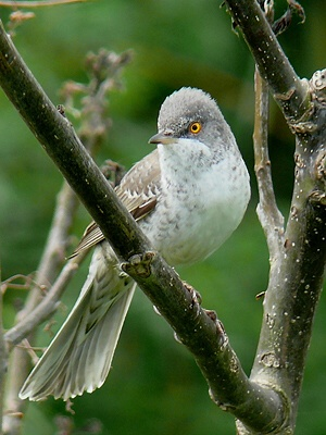 Barred Warbler, photo Miloš Balla