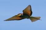 Bee-eater, photo Miloš Balla