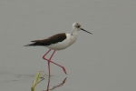 Black-winged Stilt, photo Miloš Balla