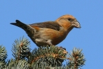 Crossbill, photo Miloš Balla