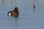 Ferruginous Duck, photo Miloš Balla