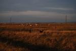 Kiskunság pastures
