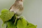 River Warbler, photo Roland Jansen