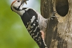 White-backed Woodpecker, photo Roland Jansen