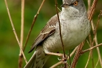 barred-warbler-photo-milos-balla