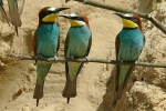bee-eater-photo-milos-balla