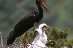 black-stork-photo-stanislav-harvancik