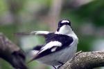 Collared Flycatcher, Austria