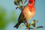 common-rosefinch