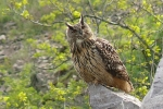 eagle-owl-photo-milos-balla