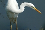 great-egret-photo-milos-balla