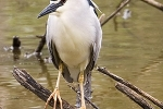 night-heron-photo-roland-jansen