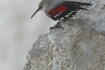 wallcreeper-photo-stanislav-harvancik