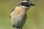 whinchat-photo-milos-balla