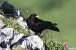 Alpine Chough, photo Zdeněk Hanč, fotohanc.com