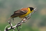 Black-headed Bunting, Macedonia