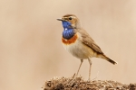 Bluethroat, photo Miloš Balla