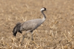 Common Crane, photo Miloš Balla