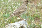 Crested Lark, Macedonia