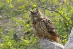 Eagle Owl, photo Miloš Balla