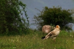 Egyptian Vulture, photo Emanuel Lisichanets