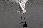Great Egret, Slovakia
