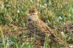Greater Short-toed Lark, Macedonia
