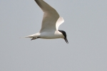 Gull-billed Tern, Greece