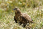 Honey Buzzard, photo Miloš Balla
