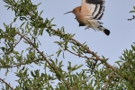 Hoopoe, Macedonia