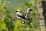 Lesser Grey Shrike, photo Miloš Balla