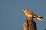 Lesser Kestrel, photo Emil Lisichanets