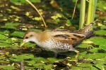 Little Crake, photo Miloš Balla