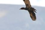 Pygmy Cormorant, Macedonia