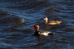 Red-crested Pochard, Austria