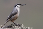 Rock Nuthatch, photo Stanislav Harvančík