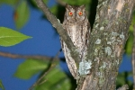 Scops Owl, Macedonia