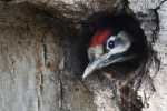 Syrian Woodpecker, Austria