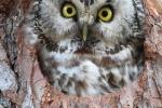Tengmalm´s Owl, Slovakia