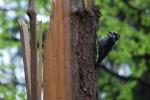 Three-toed Woodpecker, Slovakia