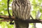 Ural Owl, photo Roland Jansen