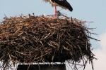White Stork, Austria