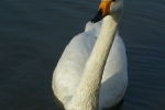 Whooper Swan, Czech Republic