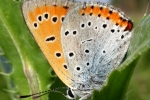 Large Copper (Lycaena dispar)