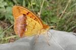 Pallas´s Fritillary (Argynnis laodice)
