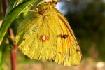 Danube Clouded Yellow (Colias myrmidone)