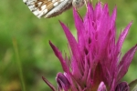Safflower Skipper (Pyrgus carthami)