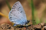 Eastern Short-tailed Blue (Cupido decoloratus)