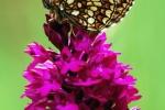 Nickerl´s Fritillary (Melitaea aurelia)