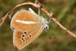 Damon Blue (Polyommatus damon)